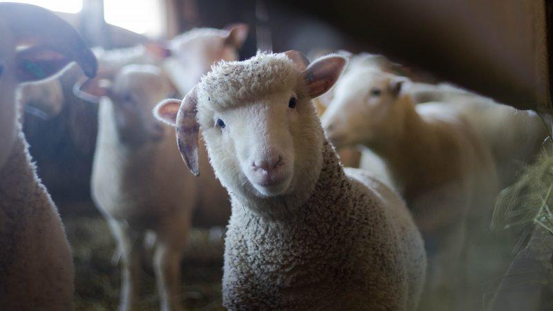 Governo apoia produtores de ovelha típica da região da Serra da Estrela