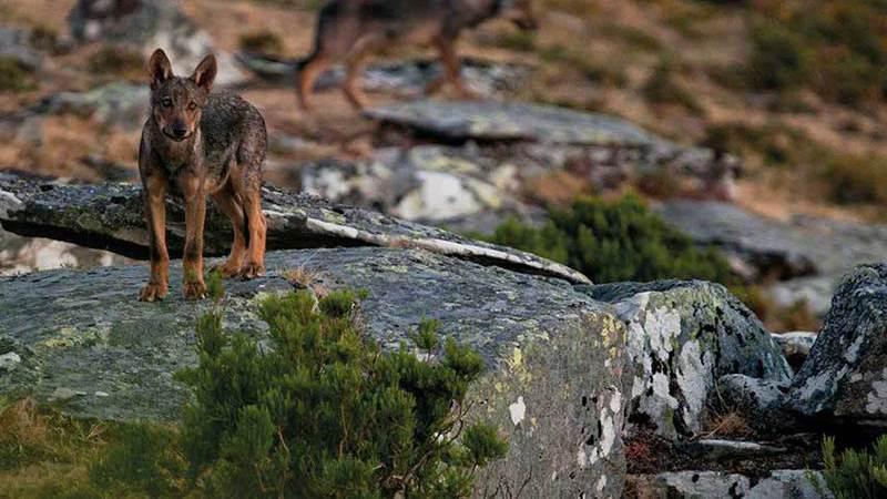 Na senda do lobo-ibérico