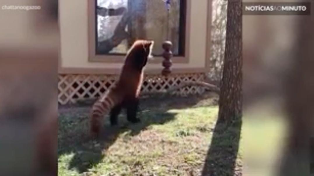 Panda-vermelho falha de forma adorável