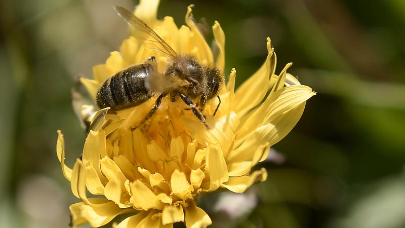 Julgava-se que estavam mortas, mas abelhas que vivem em Notre-Dame escaparam ao incêndio