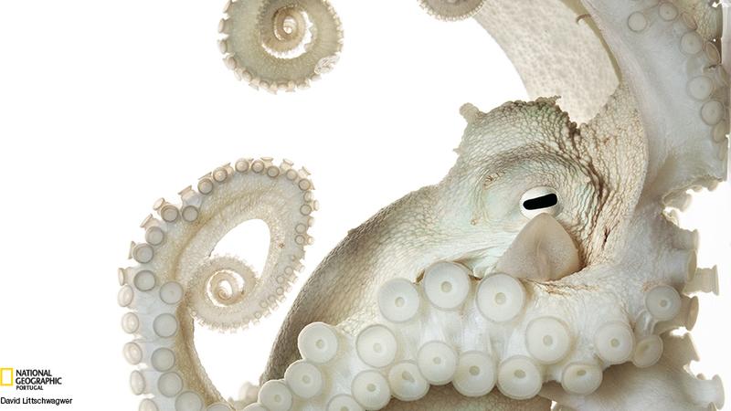 A inteligência dos polvos envergonha muitos vertebrados