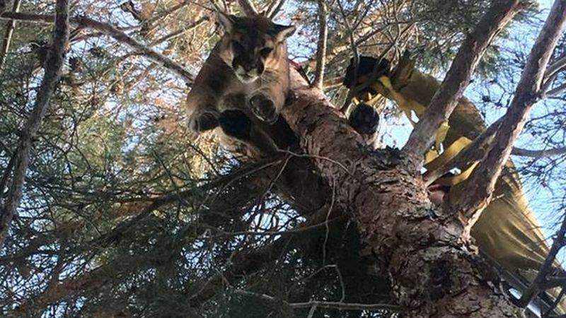 Foram chamados para resgatar um gato de uma árvore... só que gato era um puma