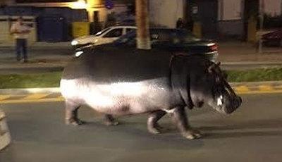 Hipopótamo à solta nas ruas de Huelva