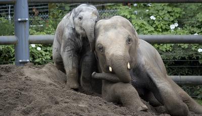 Todos para a piscina: o banho dos elefantes do zoo do Oregon