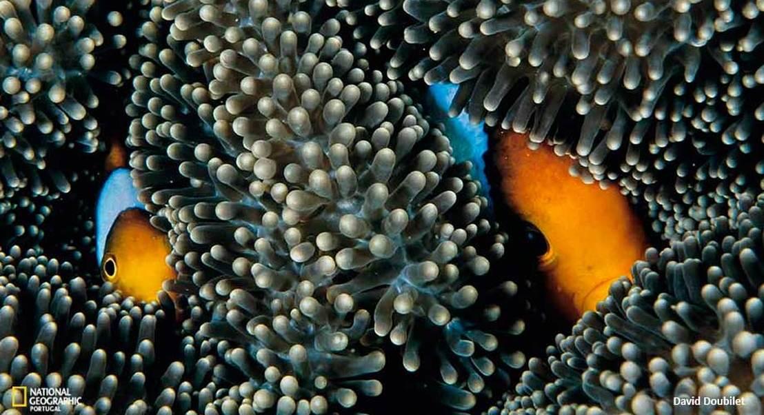 A amizade entre os peixes-palhaço e as anémonas
