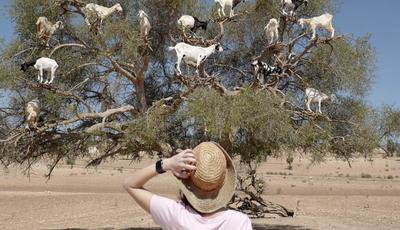 Por que é que as cabras sobem às árvores em Marrocos?
