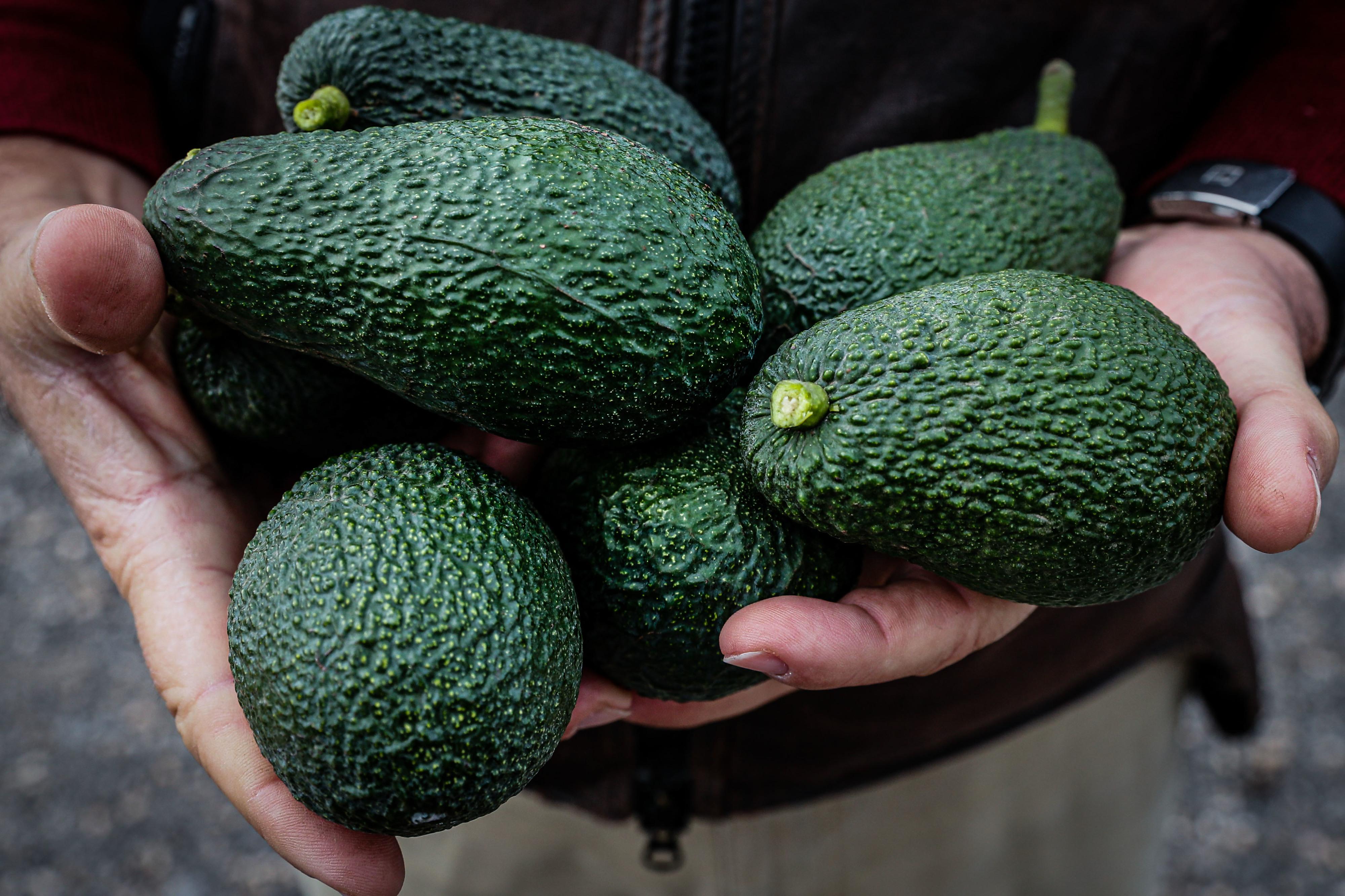 """O mercado """"começou a pedir abacate"""" e o Algarve respondeu. Microclima e aumento da procura fazem produção disparar na região"""