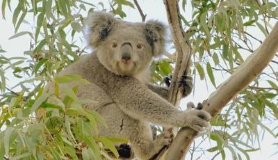 TV: Sabe como é que Jimmy, o coala, passa os dias?