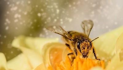 Porque deve incluir o pólen de abelha na sua dieta