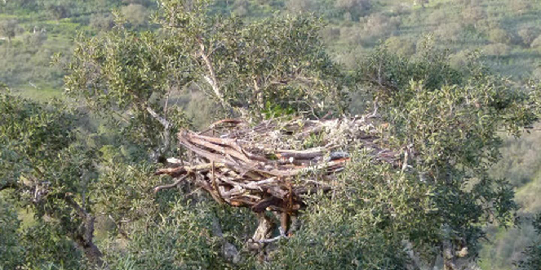 A maior ave de rapina da Europa fez ninho no Douro e a família está a crescer