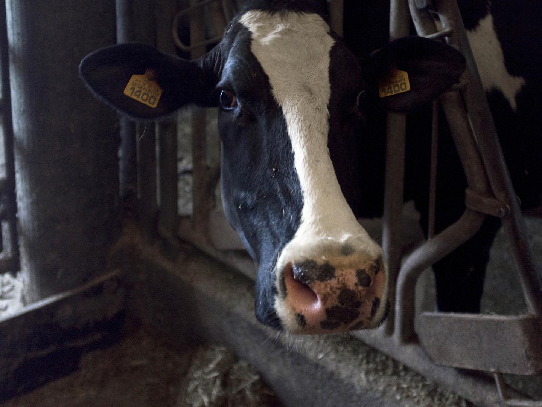Nesta exploração as vacas têm nome e são ordenhadas enquanto ouvem música