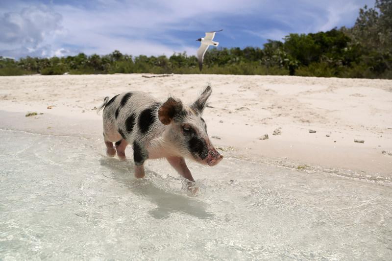 Famosos porcos nadadores estão a morrer  Turistas podem ser