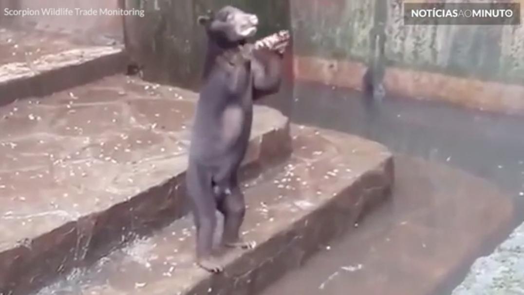 Ursos famintos imploram por comida em jardim zoológico na Indonésia