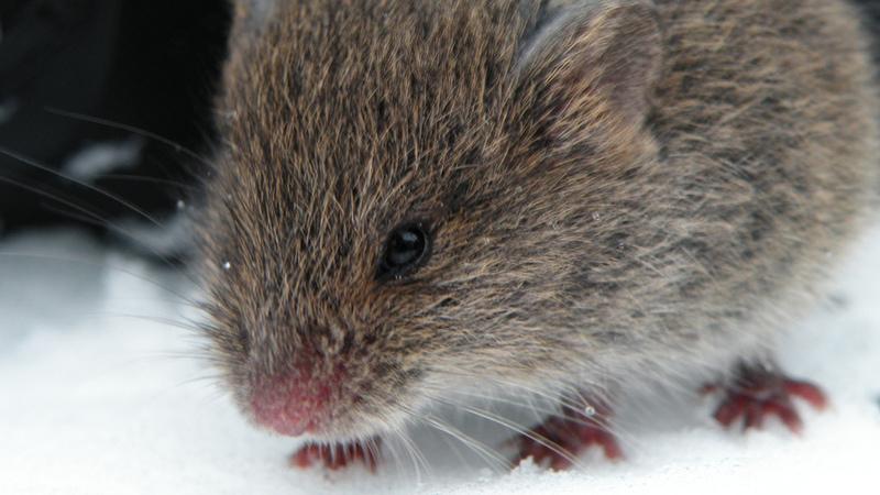 """Nariz robótico com """"cheirinho"""" de rato pode ajudar a detetar droga e explosivos"""