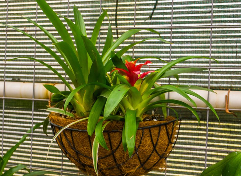 Billbergias para jardins e varandas. Fáceis de cuidar e com uma beleza exótica