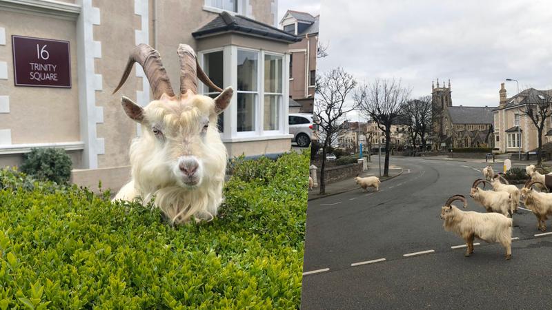 Com as pessoas em casa, as cabras tomam conta das ruas desta cidade britânica