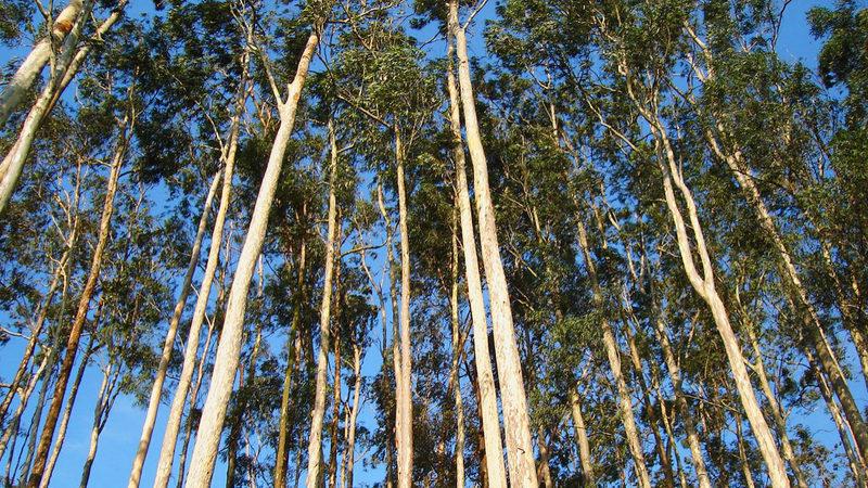 Empresas que violem regras de plantação de eucalipto podem pagar multas até 37 mil euros