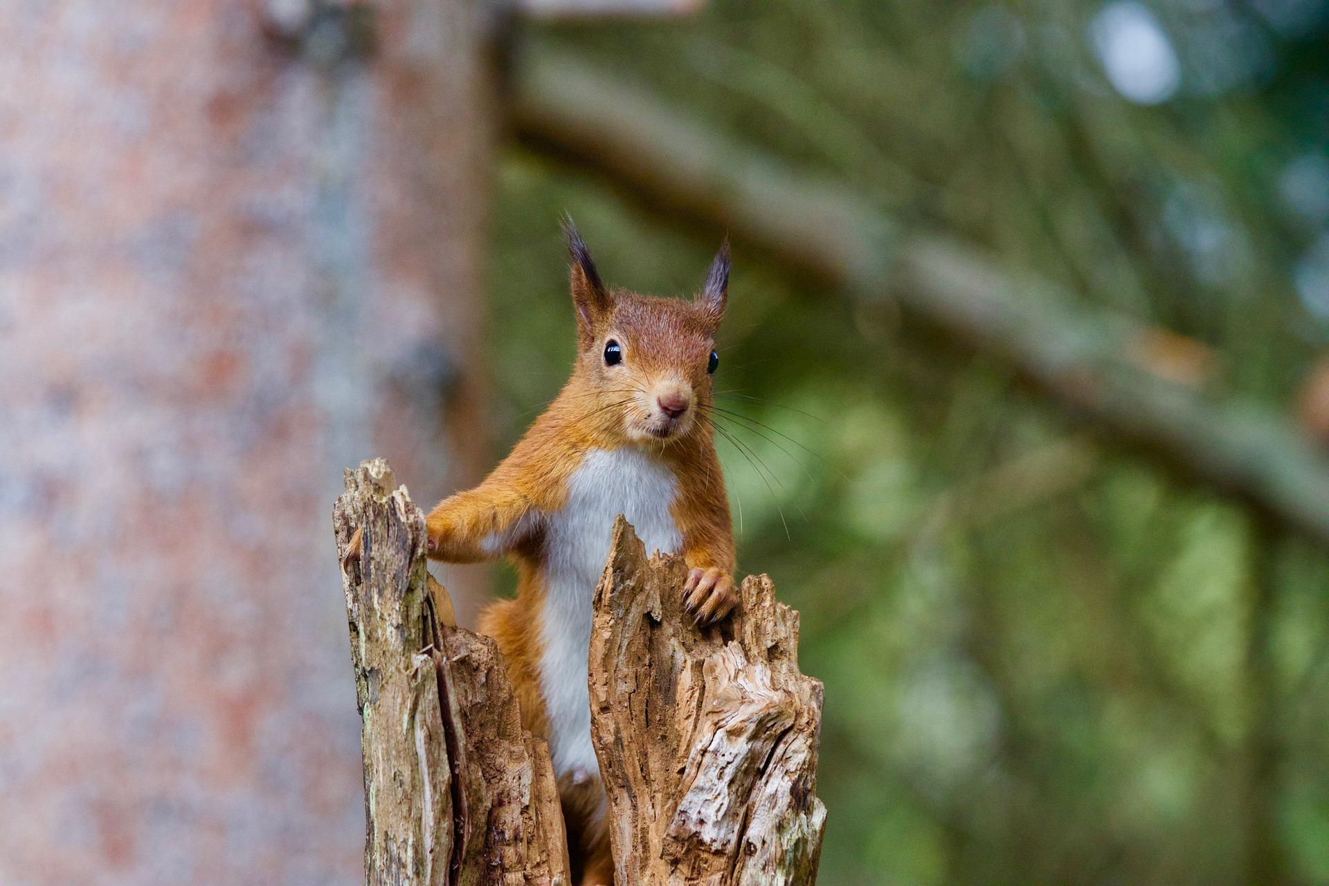 Foram dados como extintos, mas hoje os esquilos em Portugal estão fora de perigo