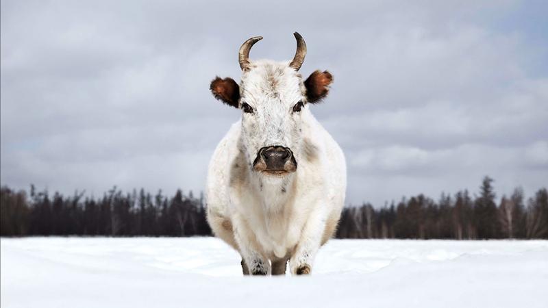 Vacas pelo mundo: fotografias surpreendentes destes animais em lugares igualmente deslumbrantes