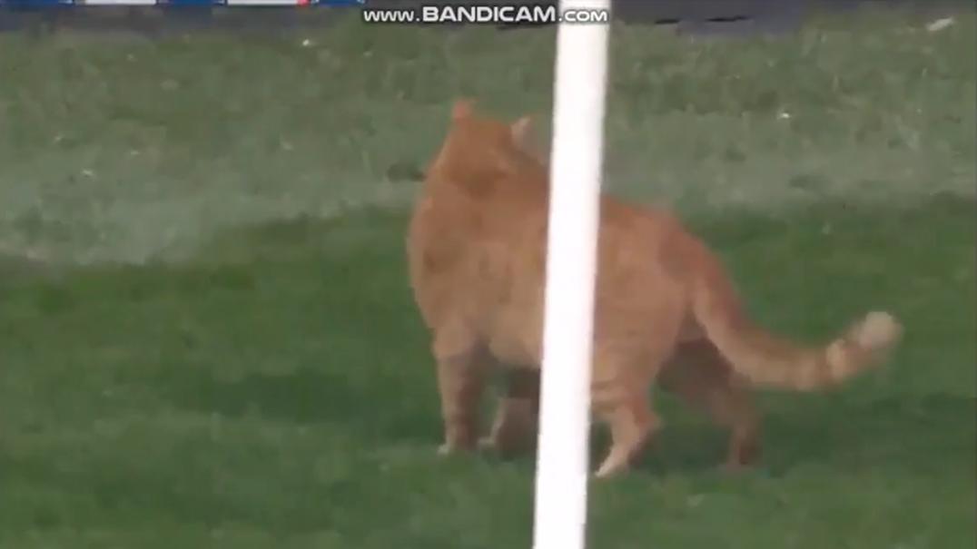 Gato passeia-se no relvado durante o jogo Besiktas-Bayern