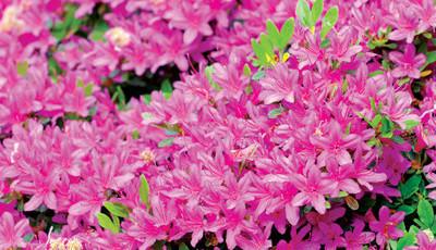 Arbustos de flor invernal