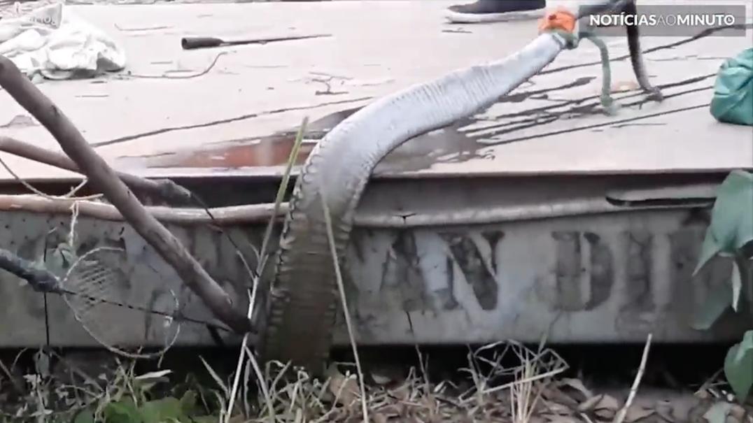 Monstruosa serpente é capturada no Vietname