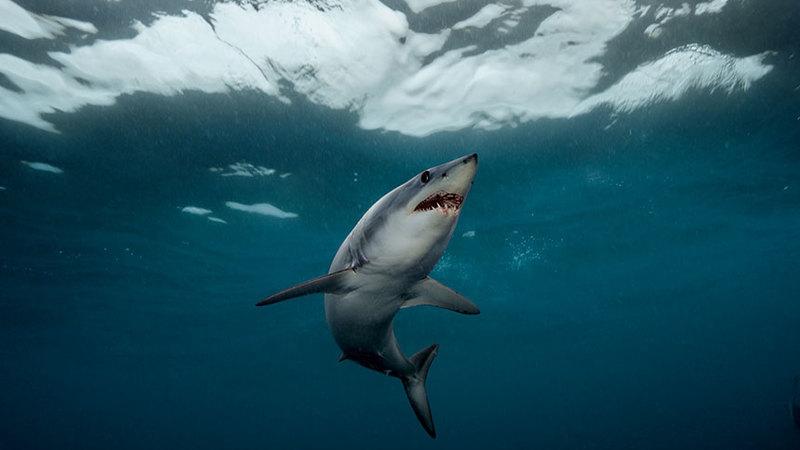 O tubarão mais rápido do mundo