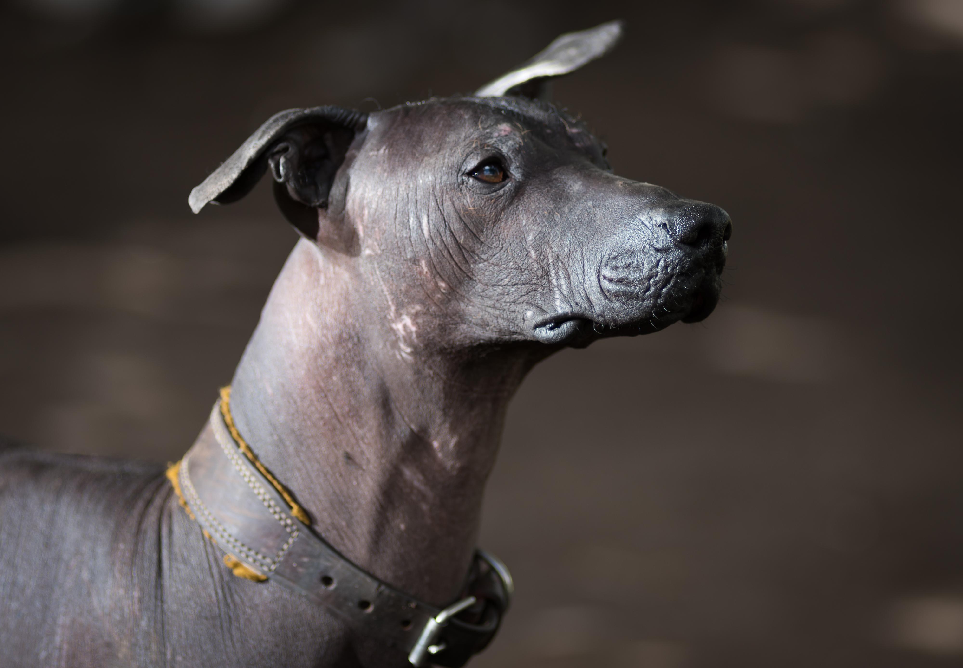 México: Conhece esta raça de cão? Já foi adorada pelos astecas e agora volta a estar na moda