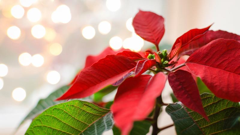 A beleza natalícia das poinsetias