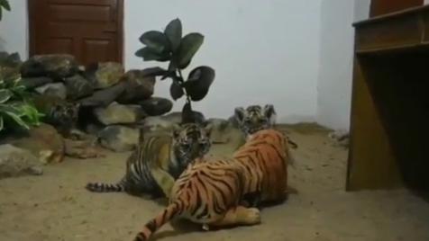 Tigres bebés 'adotam' mãe de peluche após perderem mãe