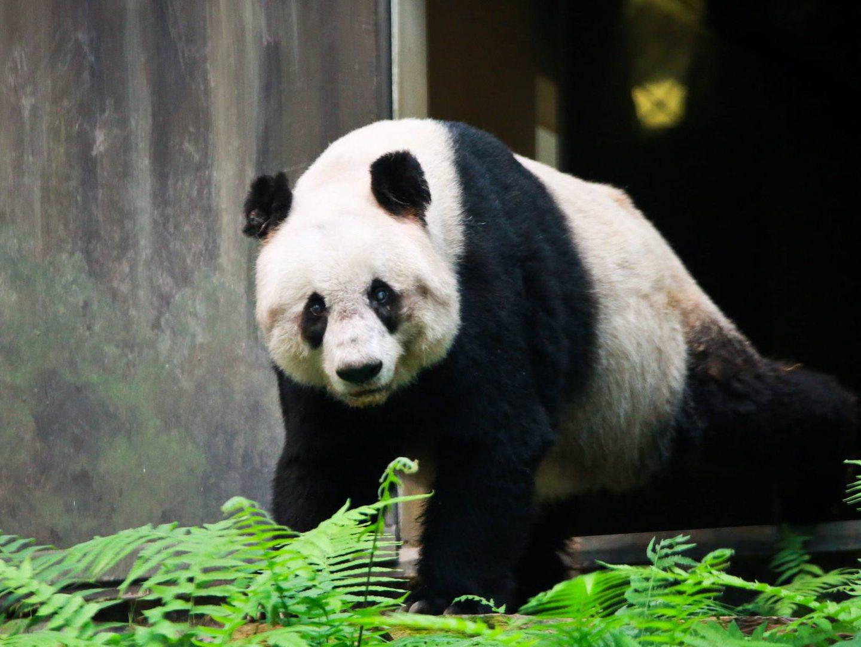 Meng Meng e Jiao Qing. Os dois pandas embaixadores da China que chegaram a Berlim