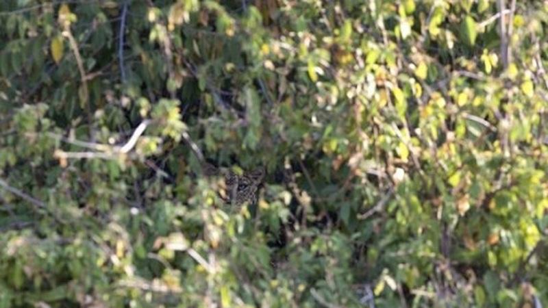 Leopardo, um verdadeiro especialista na arte de camuflagem