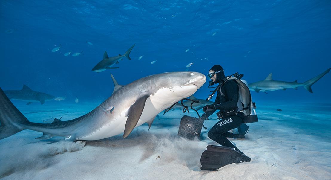 Nadando com tubarões-tigre