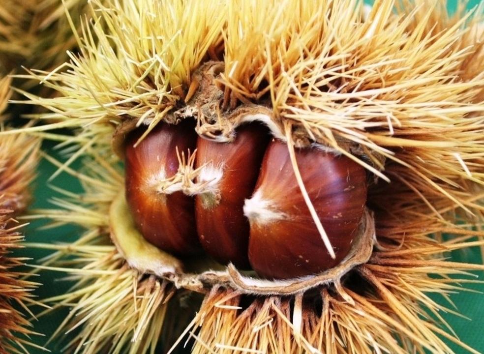 Já provou as castanhas deste ano? Conheça os 8 benefícios deste fruto