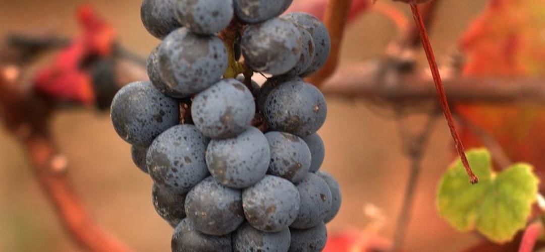 Colares: Casal de Santa Maria e a história do barão que se tornou produtor de vinhos aos 96 anos