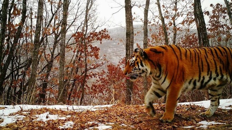 Porque é tão importante proteger os tigres