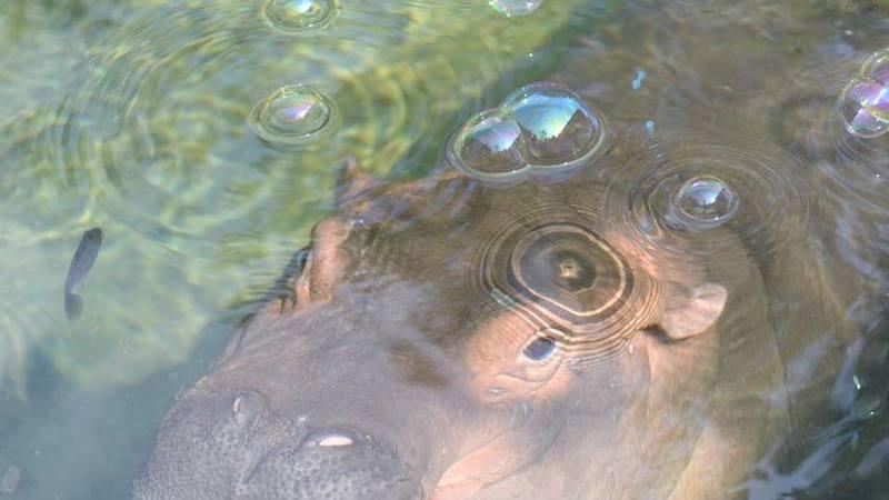 Fiona, o 'hipopótamo-estrela' do zoo de Cincinnati. Mas será isto positivo?