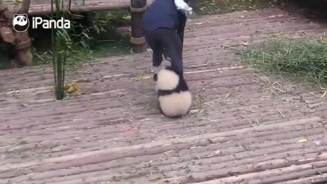 Panda bebé insiste em querer ficar abraçado ao tratador enquanto este trabalha