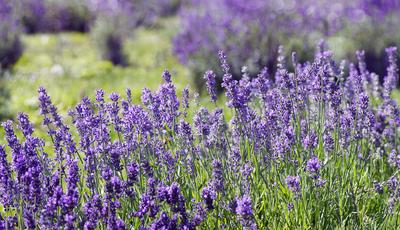 Plantas de aroma irresistível muito fáceis de cultivar