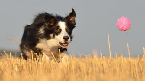 Qual é o QI do seu cão? Cientistas procuram a resposta