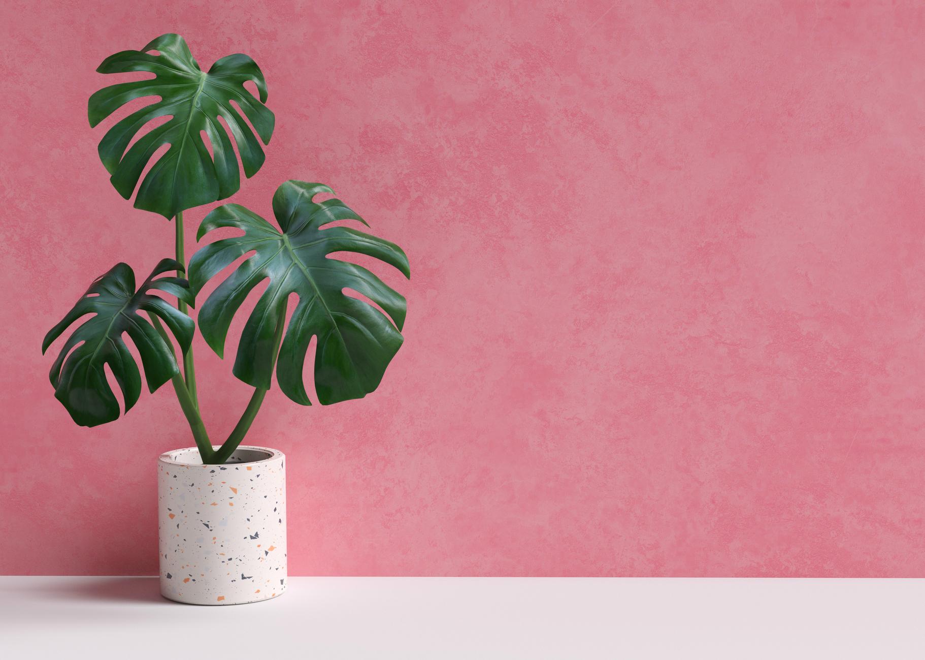 Costela-de-adão é uma das plantas mais trendy do momento. Os cuidados a ter quando a cultivar