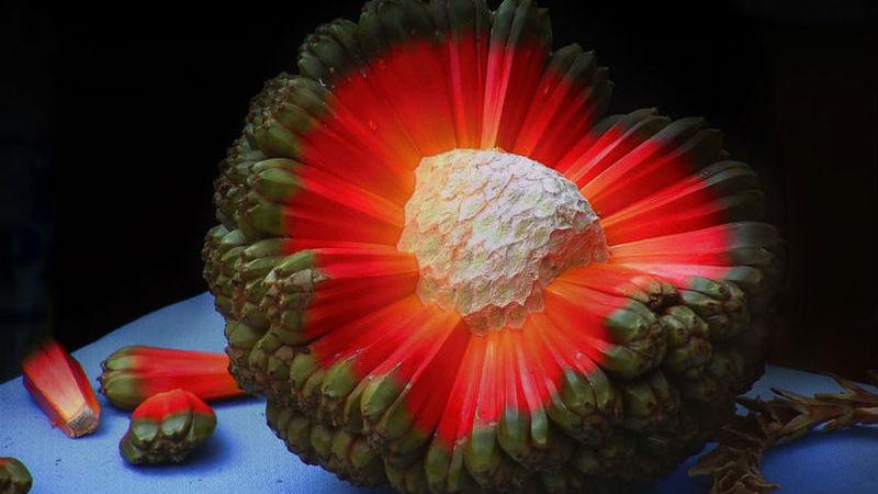Pândano, o fruto que é uma coisa de outro mundo