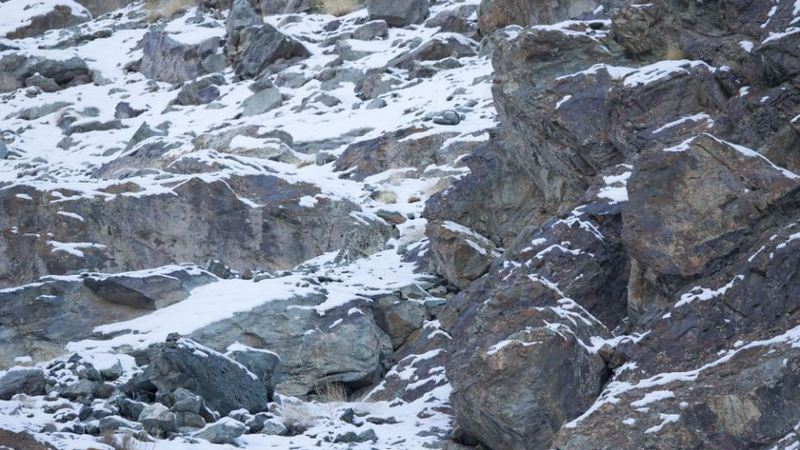 Onde está o leopardo-das-neves?