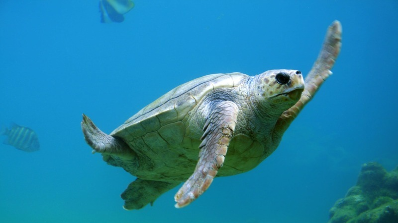 5 locais onde as tartarugas prosperaram graças ao período de quarentena
