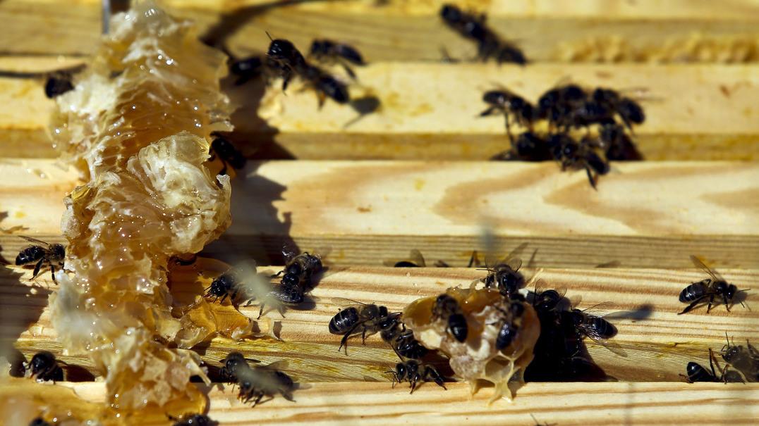 Produção de mel do interior do país com quebras de 75%