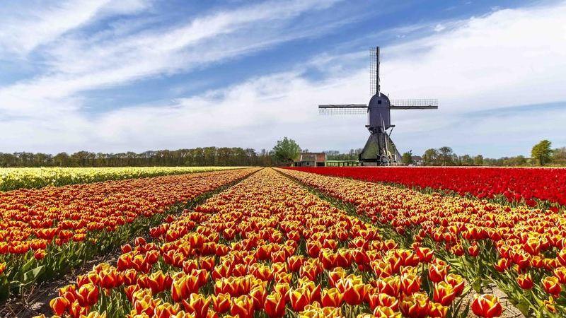 7 milhões de tulipas e zero turistas. O maior jardim de flores do mundo não vai abrir por causa da covid-19
