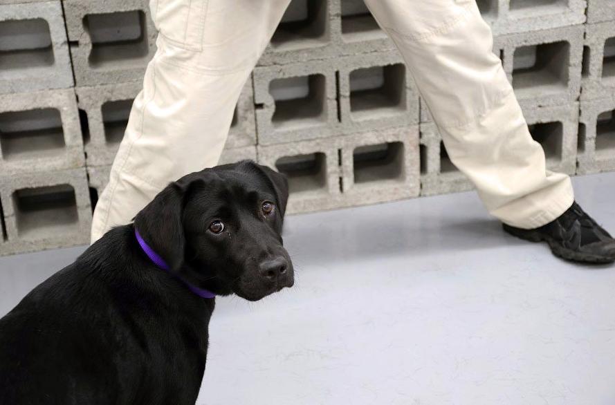 """Lulu, uma cadela da CIA, não estava interessada em detetar explosivos. E foi """"despedida"""""""