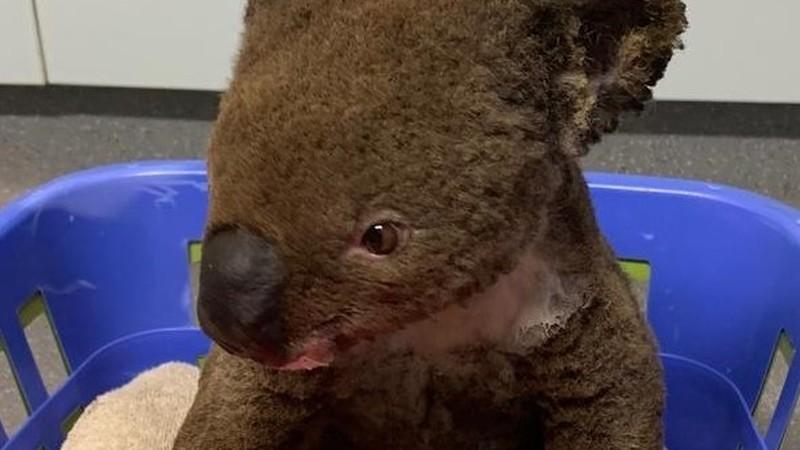 Restaurantes do grupo Mercantina adotam pequeno coala Paul e apelam à solidariedade