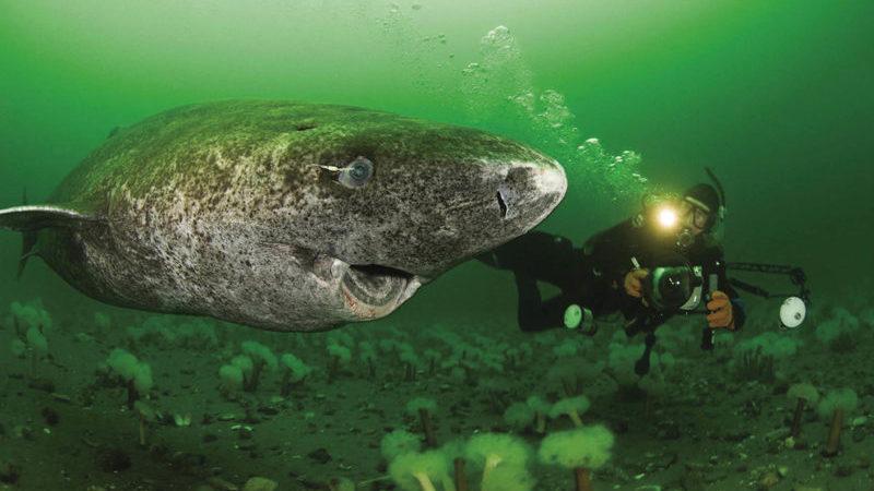 O tubarão que vive até aos 400 anos