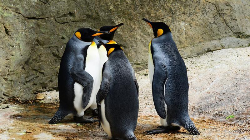 Pinguins da Antártida ameaçados por bactérias... humanas